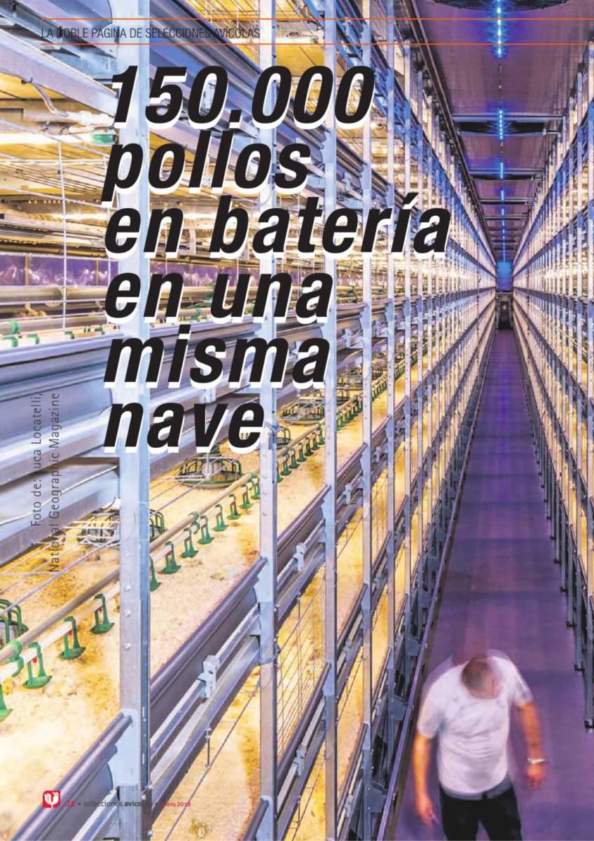 150.000  pollos  en batería  en una  misma  nave