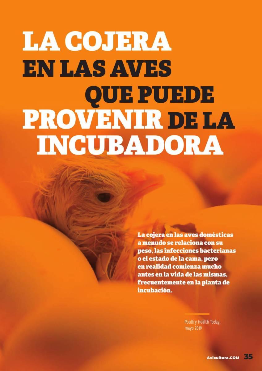 La cojera en las aves que puede provenir de la incubadora