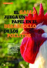 El gallo juega un papel en el desarrollo de los pollitos