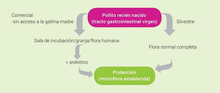 Alimentacion_Probioticos_para_aves_especificos_Wolfenden_SA201408_2.jpg