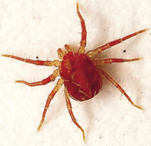 What_Are_Red_Mites_300x_opt.png