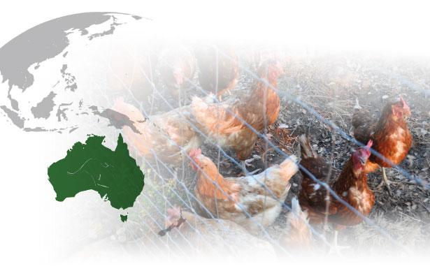 investigaciones_australianas_gallinas_camperas.jpg