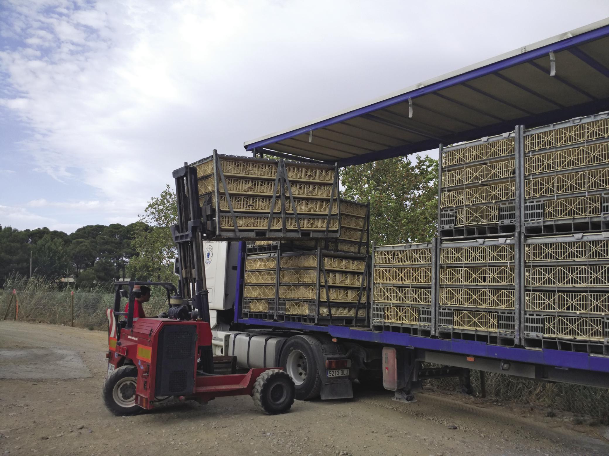 Selecciones Avícolas - Sistemas implantados para mejorar la carga de pollos en la granja