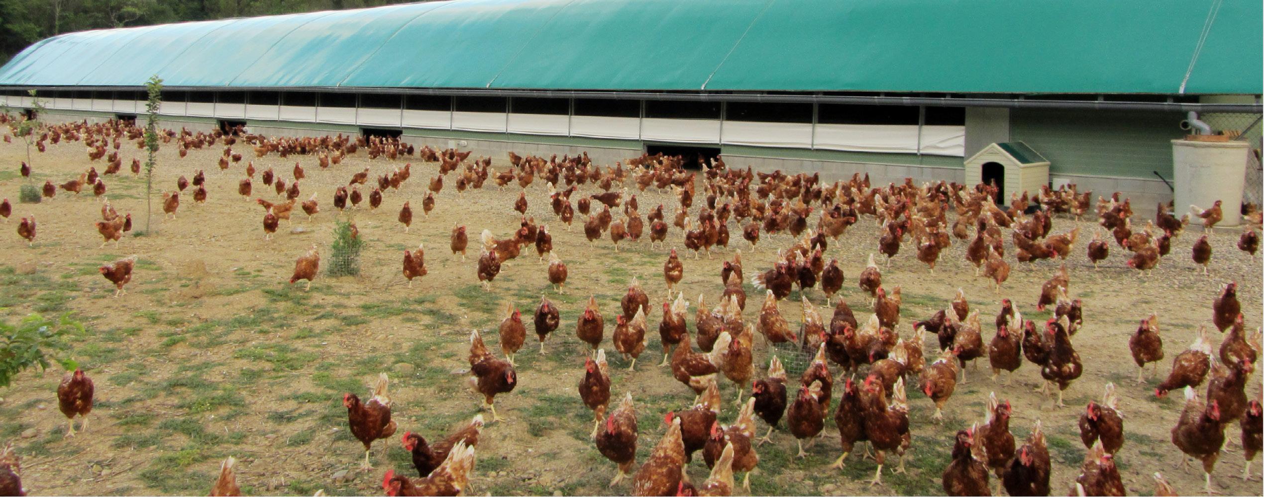 Selecciones Avícolas - IMPACTO DE LOS SISTEMAS DE ALOJAMIENTO EN EL  BIENESTAR, LA SALUD Y EL COMPORTAMIENTO DE LAS POLLITAS Y LAS GALLINAS  PONEDORAS