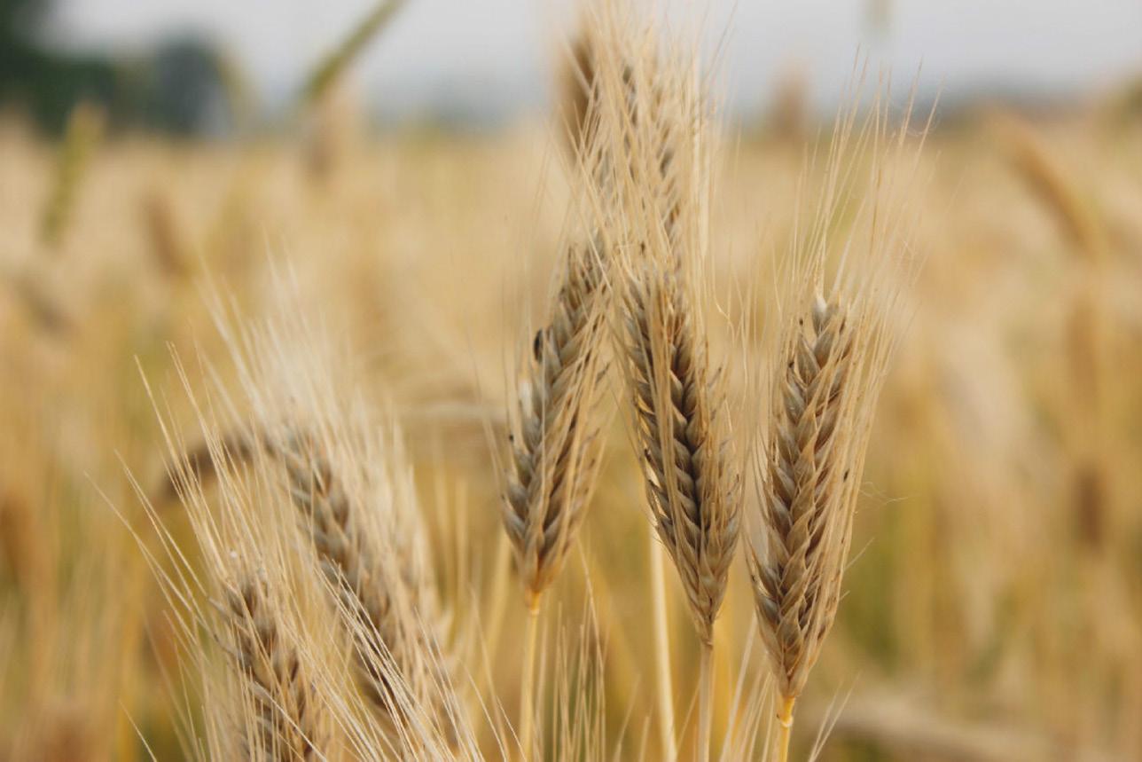 feed_barley_origin_Rus_opt.jpeg