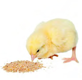 pollito embrionario