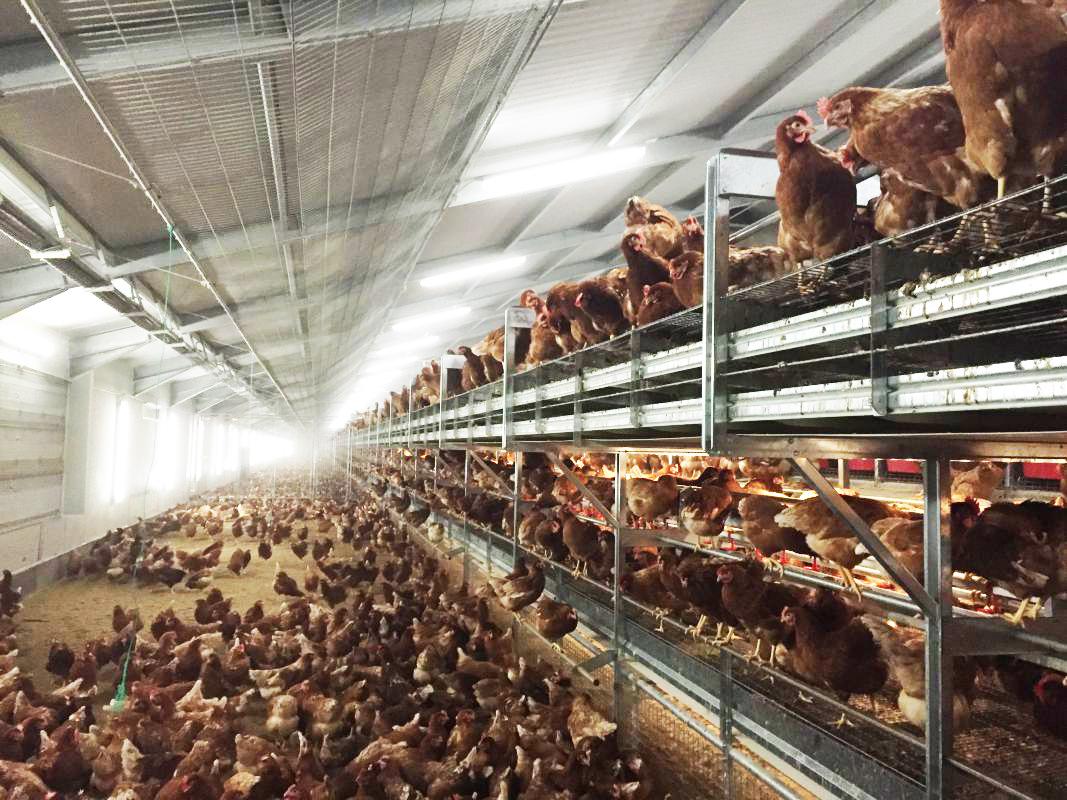 Y Batería Pollitas Ponedoras Avícolas No Selecciones Manejo De nOX08wPk