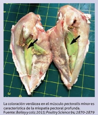 15_miopatia_musculo_verde_pollos_engorde.png